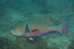 Bullethead parrotfish (Chlorurus sordidus) Royalty Free Stock Photography