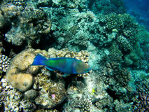 Bullethead parrotfish on a coral reef. Scarus Stock Photography
