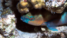 Bullethead Parrotfish Royalty Free Stock Photos