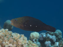 Bullethead parrotfish Stock Image