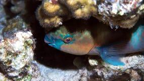Bulletheadparrotfish Royaltyfria Foton