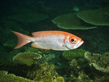 Bulleye fish in pacific ocean Royalty Free Stock Image