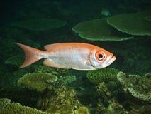 Bulleye fish in pacific ocean Royalty Free Stock Image