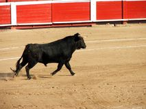 bullfight arkivfoto