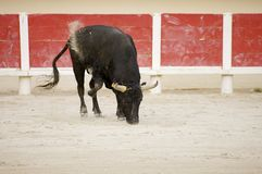 Bullfight Royalty Free Stock Image