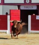 bullfight stock foto's