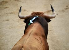 Bullfight. In spain in spanish bullring arena with big bull Royalty Free Stock Photos