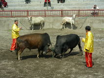Bullfight Royalty Free Stock Photos