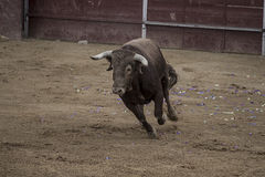 Bullfight. Fighting bull picture from Spain. Black bull Stock Images