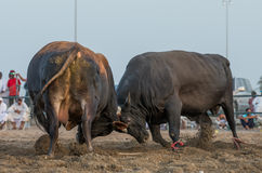Bullfight. Is old tradition in Oman and UAE. Two bulls are fighting Stock Images