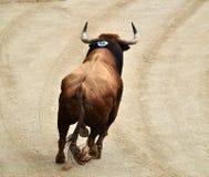 Bullfight. In spain in spanish bullring arena with big bull royalty free stock photo