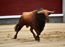 Bullfight. In spain in spanish bullring arena with big bull Royalty Free Stock Photography