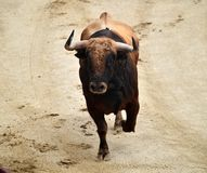 Bullfight. In spain in spanish bullring arena with big bull Royalty Free Stock Images