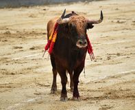 Bullfight. In spain in spanish bullring arena with big bull stock images