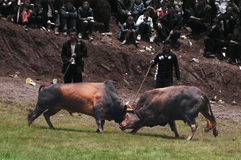 Bullfight of Torch festival Stock Photos