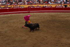A Bullfighter Evades a Bull. A Portuguese Matador evades a bull in the Angra do Heroísmo arena during the Sanjoaninas. This is the largest yearly festival in Royalty Free Stock Images