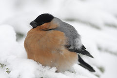 Bullfinch, αρσενικό/pyrrhula Pyrrhula Στοκ εικόνα με δικαίωμα ελεύθερης χρήσης