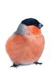 bullfinch ευρασιατικός Στοκ Εικόνες