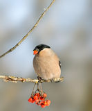 bullfinch ευρασιατικό pyrrhula Στοκ Εικόνες
