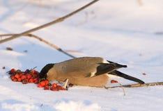 bullfinch ευρασιατικό pyrrhula Στοκ φωτογραφίες με δικαίωμα ελεύθερης χρήσης