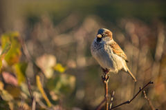 Bullfinch πουλιών επάνω που σκαρφαλώνει στενός στο θάμνο στην ηλιοφάνεια Στοκ εικόνες με δικαίωμα ελεύθερης χρήσης