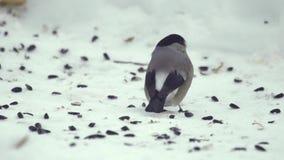 Bullfinch που τρώει τους σπόρους φιλμ μικρού μήκους