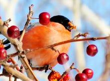 Bullfinch σε ένα Apple-δέντρο Στοκ Εικόνες