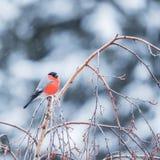 Bullfinch στον κλάδο δέντρων Στοκ Φωτογραφίες