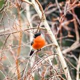 Bullfinch στον κλάδο δέντρων Στοκ Φωτογραφία