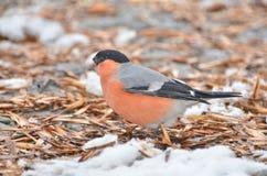 Bullfinch το αρσενικό Στοκ εικόνα με δικαίωμα ελεύθερης χρήσης