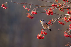 Bullfinch το φθινόπωρο Στοκ Φωτογραφίες