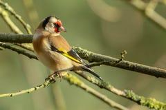 Bullfinch в лесе Sherwood стоковая фотография rf