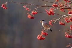 Bullfinch в осени Стоковые Фото