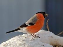 Bullfinch на моем фидере птицы стоковые фото