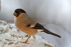 Bullfinch на моем фидере птицы стоковое изображение
