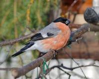 Bullfinch на моем фидере птицы стоковая фотография rf