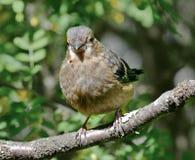 Bullfinch на моем фидере птицы стоковое фото