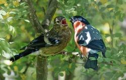 Bullfinch на моем фидере птицы стоковая фотография