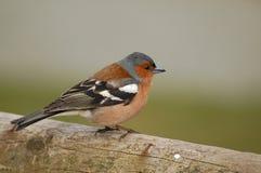 Bullfinch отдыхая на деревянном журнале Стоковое Фото