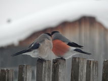 Bullfinch птицы в одичалом Стоковое Фото
