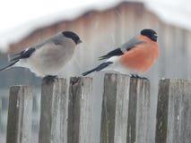 Bullfinch птицы в одичалом Стоковая Фотография RF