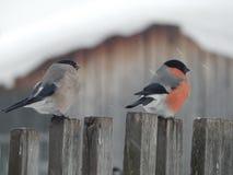Bullfinch птицы в одичалом Стоковые Фотографии RF