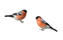 Bullfinch птицы красивый толстенький красный на изолированной ветви Стоковые Фото