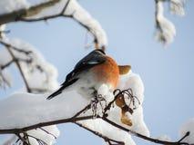 Bullfinch птицы сидя на ветви с снегом Стоковое Изображение