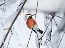 Bullfinch птицы сидя на ветви с снегом Стоковые Изображения