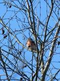 Bullfinch птицы Стоковая Фотография