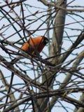Bullfinch птицы Стоковые Изображения RF