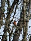 Bullfinch птицы Стоковое Изображение