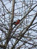 Bullfinch птицы Стоковое Изображение RF