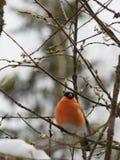 Bullfinch птицы Стоковые Фотографии RF